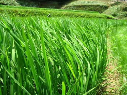 夏だ!稲だ!農家ファッション2010 Summer!