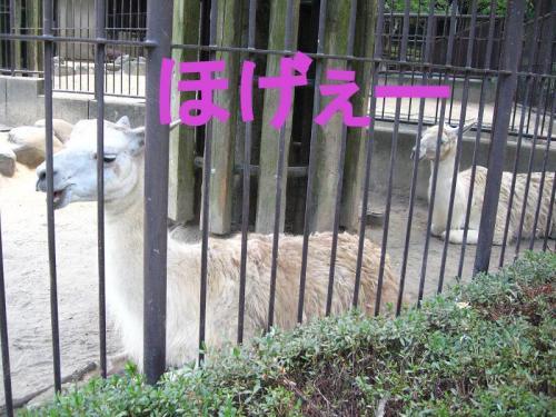 砥部動物園 ラマ