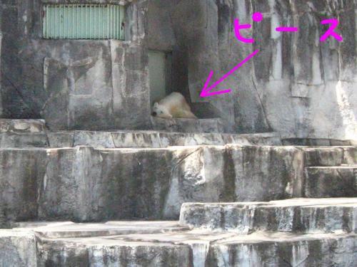 とべ動物園 ホッキョクグマのピース