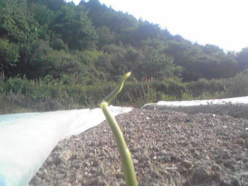生姜の芽が・・・芽がぁ・・・・・・!!