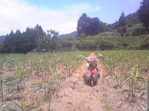 生姜畑(7月上旬)
