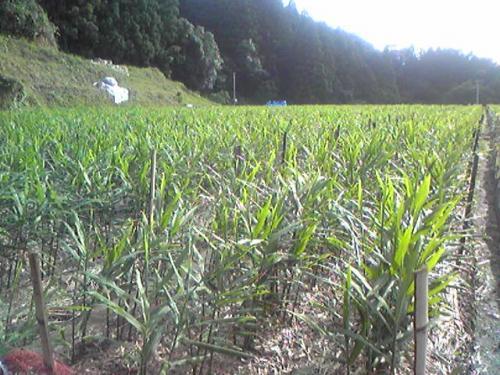生姜畑(8月7日)