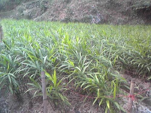 生姜畑、まるで草原