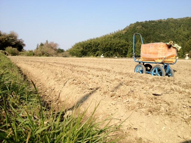 生姜の定植