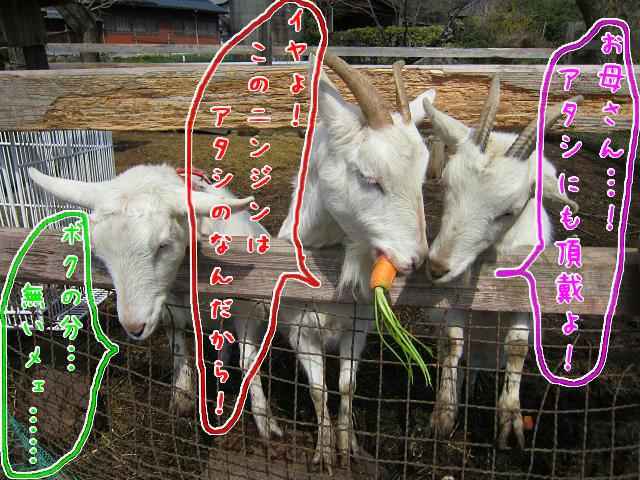 岡崎牧場 ニンジンを奪い合うヤギたち