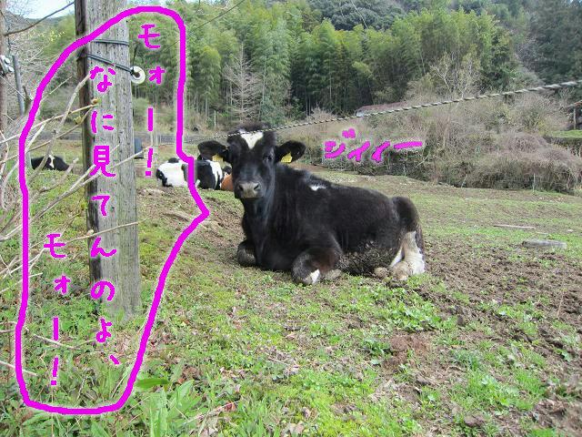 岡崎牧場 牛