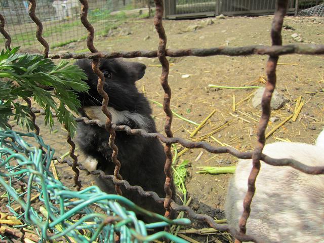 岡崎牧場 黒ウサギ