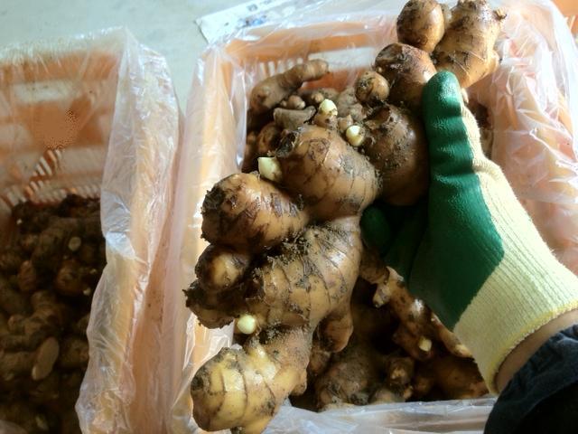 生姜の種芋を割っている最中