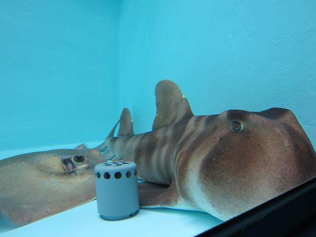 足摺海洋館 ネコザメでしたっけ