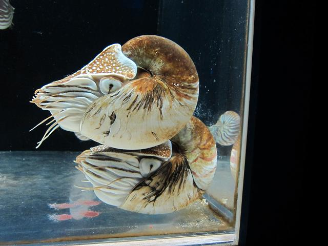 足摺海洋館 オウム貝だっけ