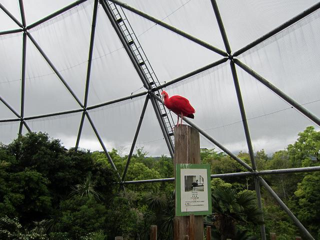 とくしま動物園 赤い鳥 接写!