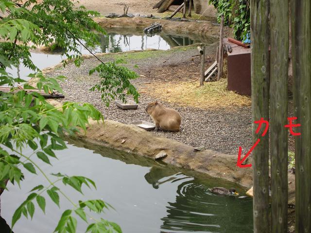 とくしま動物園 カピバラ5