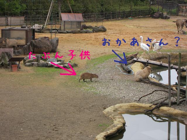 とくしま動物園 カピバラ3
