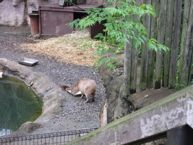 とくしま動物園 カピバラ1