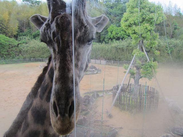 とくしま動物園 キリン3