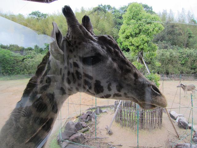 とくしま動物園 キリン2