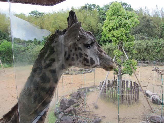 とくしま動物園 キリン1