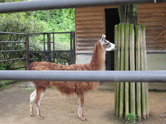 とくしま動物園 ラマ