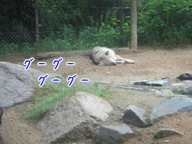 とくしま動物園 寝ている狼