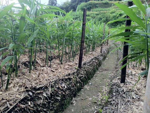 生姜畑2-2