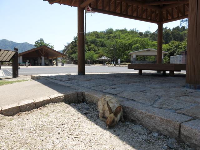 大久野島で第一うさぎ発見!