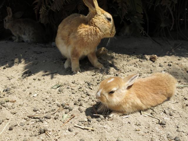ウサギ島0032