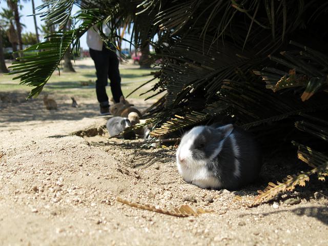 ウサギ島50