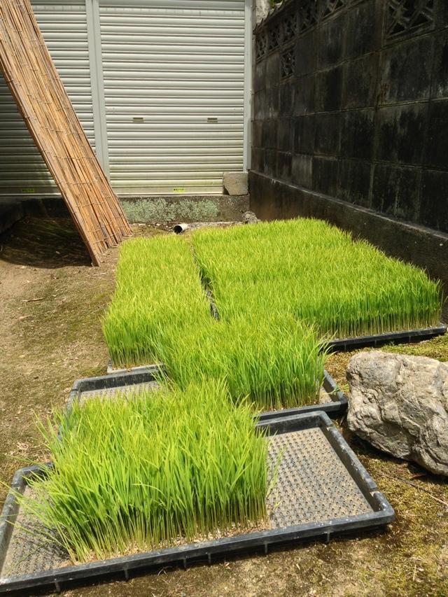 稲の苗箱をブルブル洗う