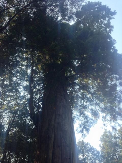 天神の大杉