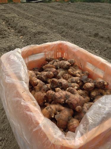 生姜を植えよう!2