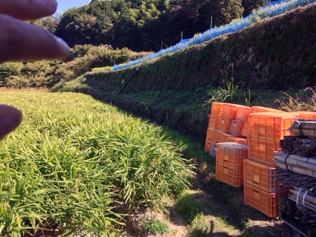 生姜の収穫をするために必要な、たった一つのこと
