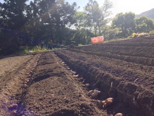 生姜の植え付け、プロの技、披露
