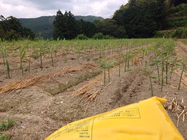 生姜畑の土寄せ、撒き始めたケイントップ、イカスミパスタ