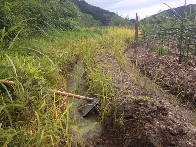 梅雨時期にやっておきたい生姜畑「よけ」の泥掃除