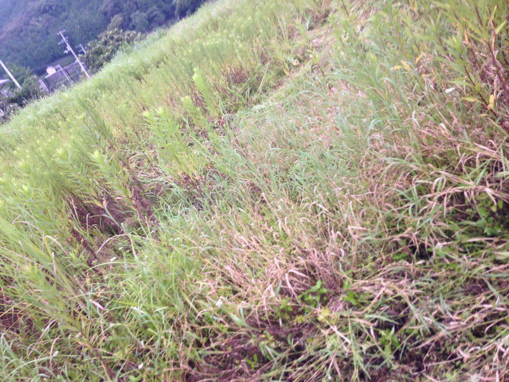 田んぼの亀