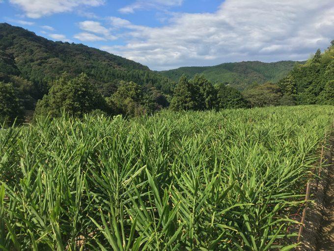 畑に降る数十日ぶりの雨、生き返る生姜