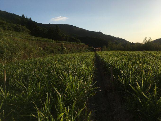 [生姜栽培]降雨の重要性「水は命の源」