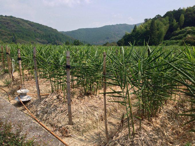 正念場の夏「生姜栽培」維持管理