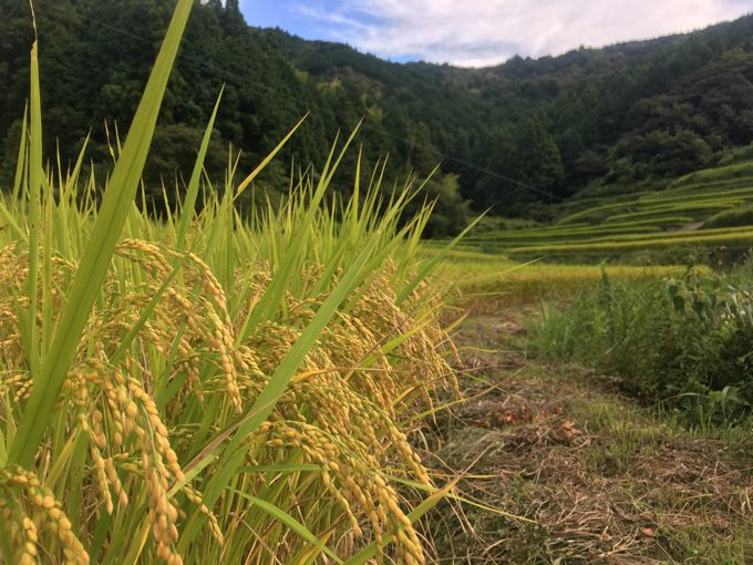 稲作は大詰め「稲刈りの準備」