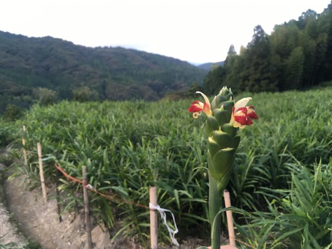 竜一の生姜畑に咲いた生姜の花の画像