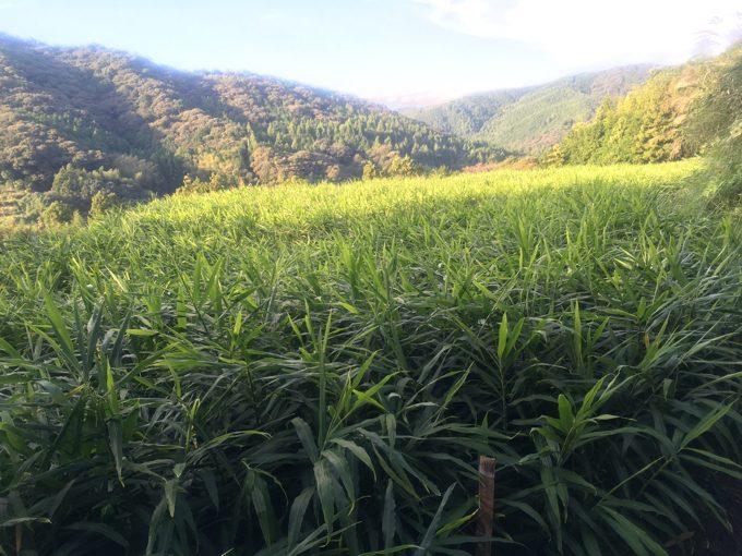 「生姜の収穫」準備開始。深まりゆく秋。草刈り、畑の向こうに。