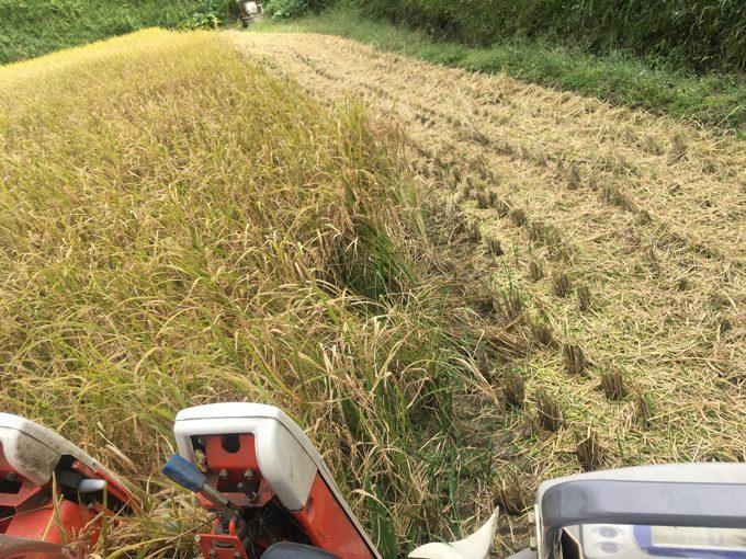 熟れすぎた稲「刈って捨てる」米作りの沙汰もカネ次第。