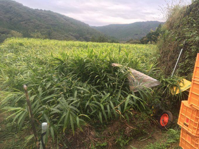 生姜の収穫の始まり
