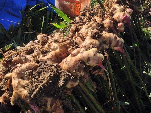 農業は儲かるのか!生姜農家の年収、平均所得、月収を現役が語る。