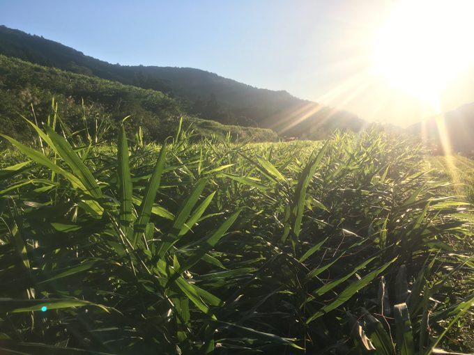平成28年産・竜一生姜、収穫終了。専業農家ブロガー死闘の記録