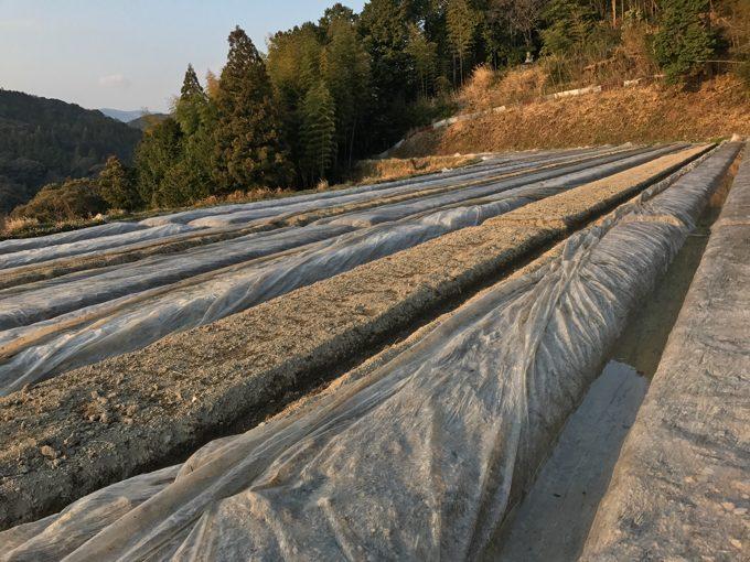 生姜畑の土壌消毒に使ったビニールを外した結果!