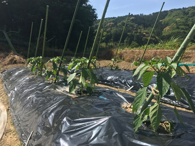 家庭菜園に夏野菜を植えたよ!