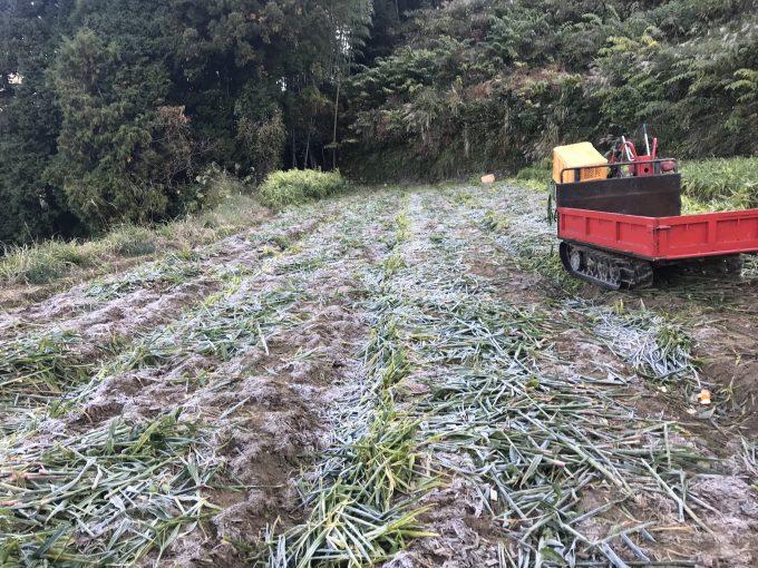 霜が降りた生姜畑