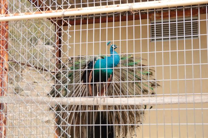 小豆島 銚子渓 お猿の国の孔雀
