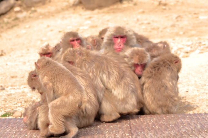 小豆島 銚子渓 お猿の国の猿 猿団子